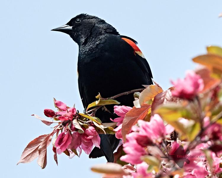 Red-Winged Blackbird_2019-06-01_2