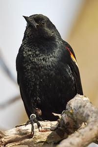 Red-Winged Blackbird_2019-05-18_1