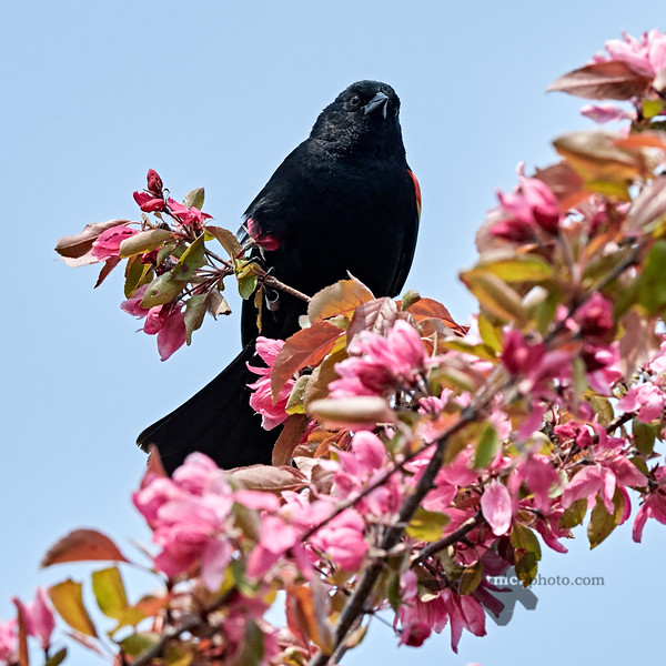 Red-Winged Blackbird_2019-06-01_4