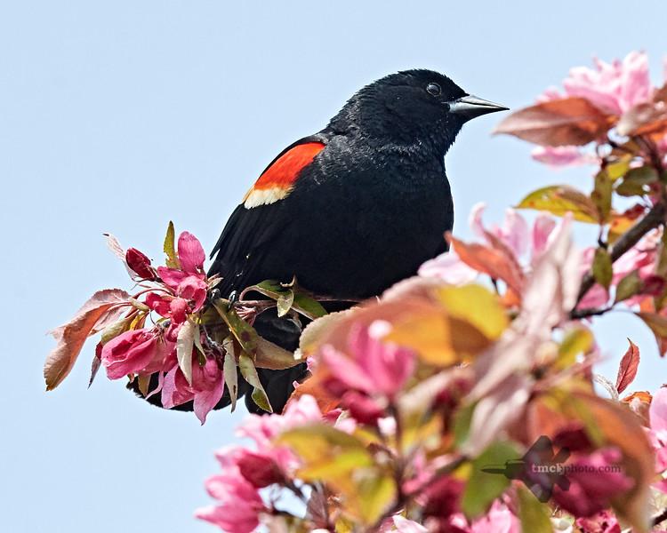 Red-Winged Blackbird_2019-06-01_3