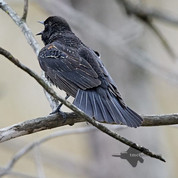 Red-Winged Blackbird_2019-05-11_3