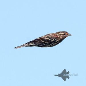 Red-Winged Blackbird_2019-09-21_1