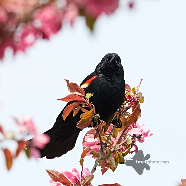 Red-Winged Blackbird_2019-06-01_7