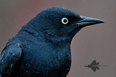 Rusty Blackbird_2019-05-04_1