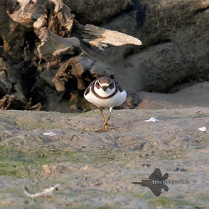 Semipalmated Plover_2019-09-21_2