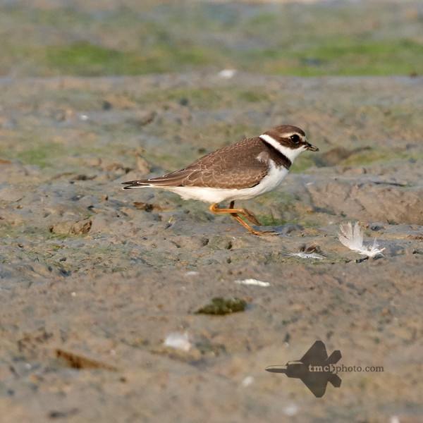 Semipalmated Plover_2019-09-21_4