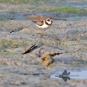 Semipalmated Plover_2019-09-21_3