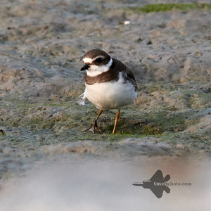 Semipalmated Plover_2019-09-21_1