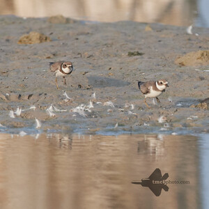 Semipalmated Plover_2019-09-21_5