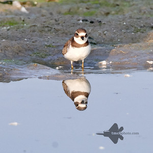 Semipalmated Plover_2019-09-21_8