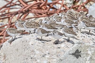 Semipalmated Sandpiper_2019-06-02_14