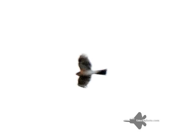 Sharp-Shinned Hawk_2019-10-20