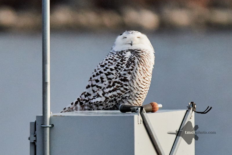Snowy Owl_2019-01-05_4