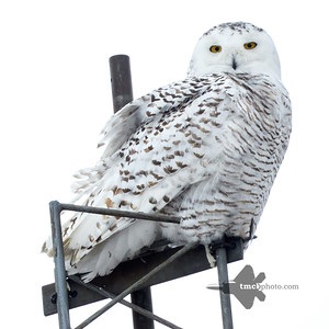 Snowy Owl_2019-01-05_8