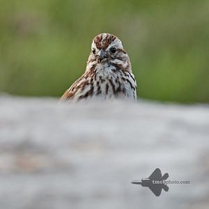 Song Sparrow_2019-06-01_1