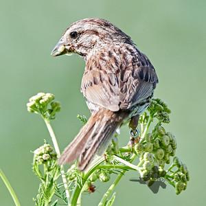 Song Sparrow_2019-07-21_2