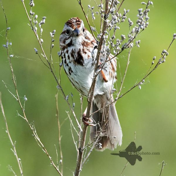 Song Sparrow_2019-06-09_3