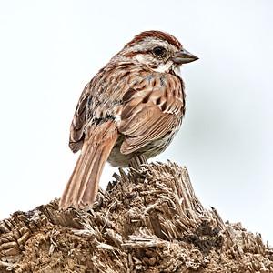 Song Sparrow_2019-06-09_5