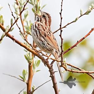Song Sparrow_2019-06-01_4