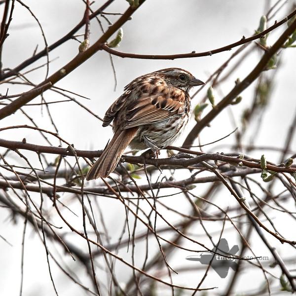Song Sparrow_2019-06-01_3