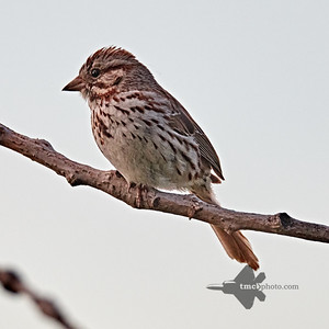 Song Sparrow_2019-06-09_1