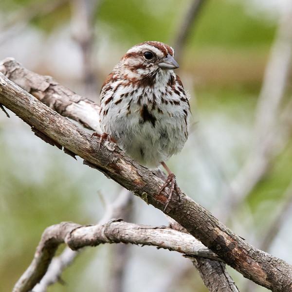 Song Sparrow_2019-06-01_7