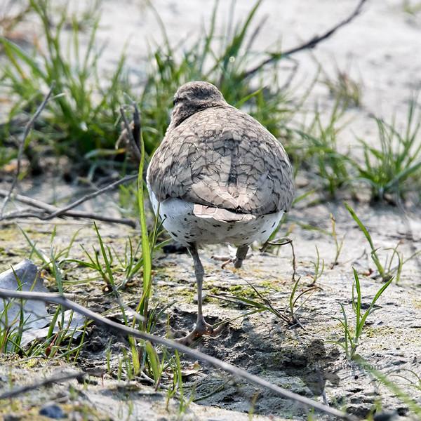 Spotted Sandpiper_2019-06-01_6