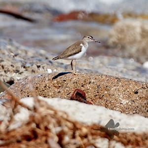 Spotted Sandpiper_2019-08-25_2