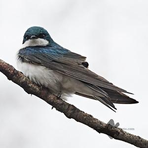 Tree Swallow_2019-05-04_1