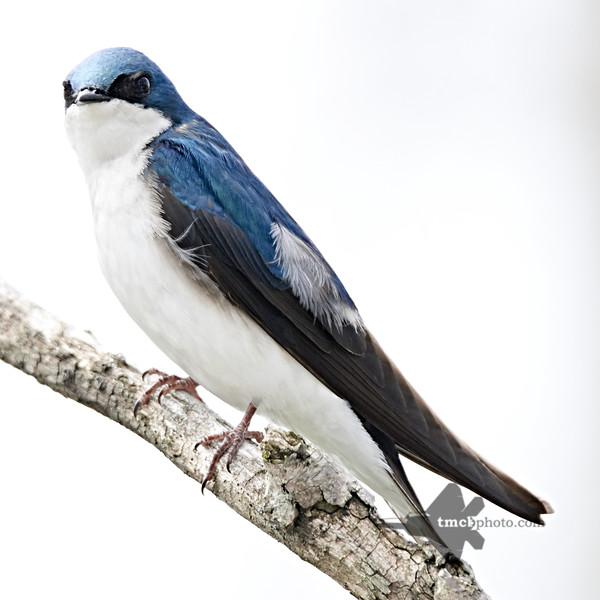 Tree Swallow_2019-05-11_2