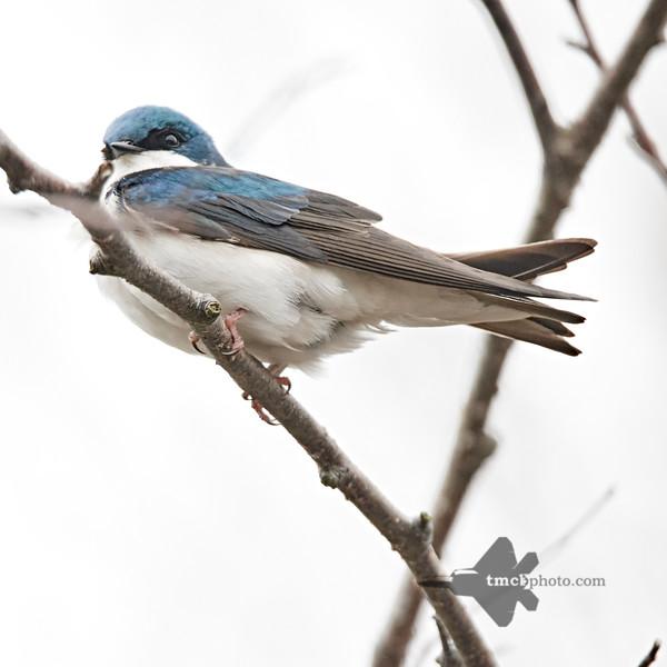 Tree Swallow_2019-05-11_3