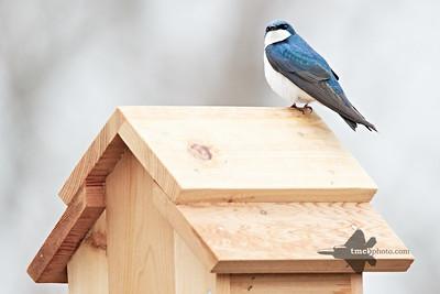 Tree Swallow_2019-05-04_5