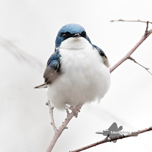 Tree Swallow_2019-05-11_4