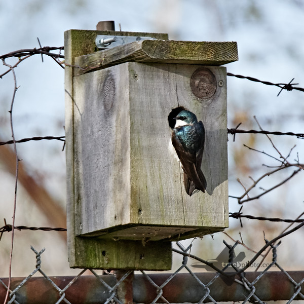 Tree Swallow_2019-05-18_2