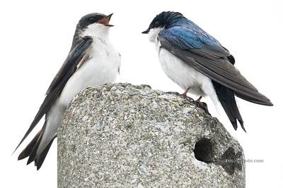 Tree Swallow_2019-05-04_2