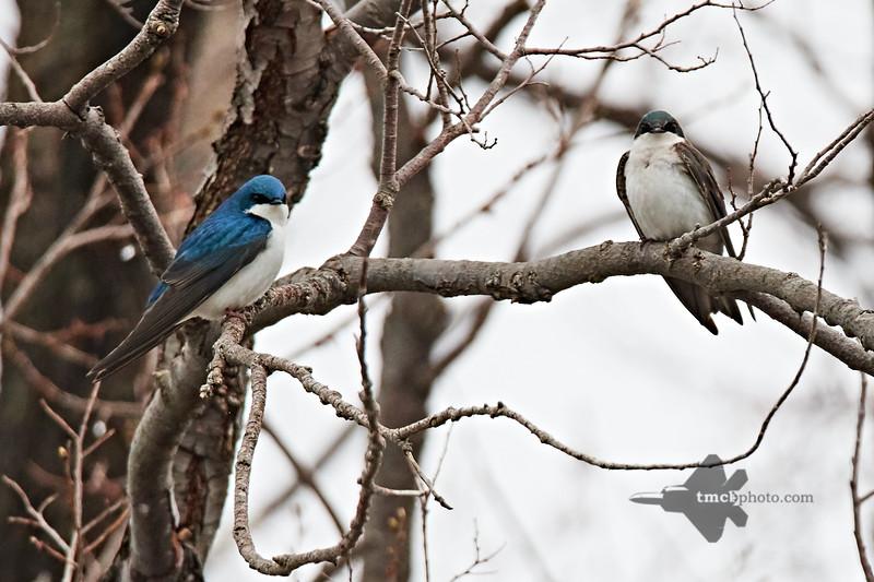 Tree Swallow_2019-05-04_3
