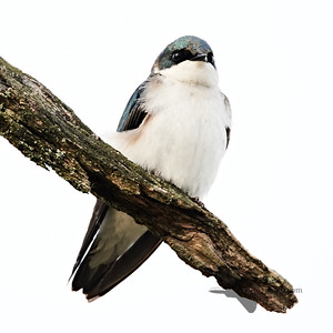 Tree Swallow_2019-05-18_1