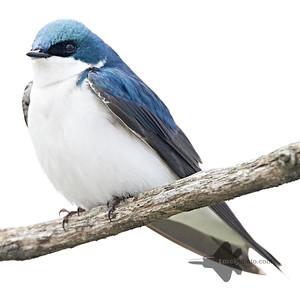 Tree Swallow_2019-05-11_1