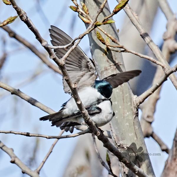 Tree Swallow_2019-05-18_3