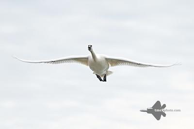 Trumpeter Swan_2019-05-18_1
