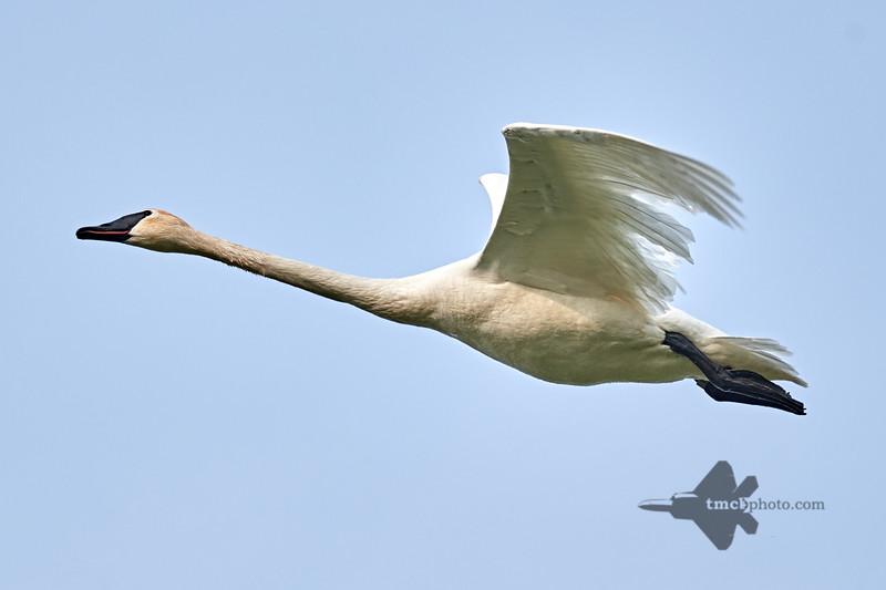 Trumpeter Swan_2019-06-01_1