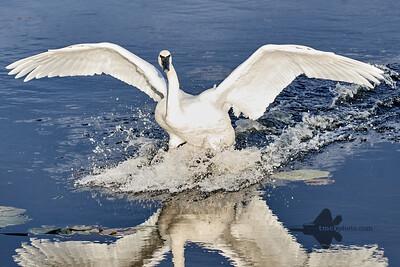 Trumpeter Swan_2019-11-03_9