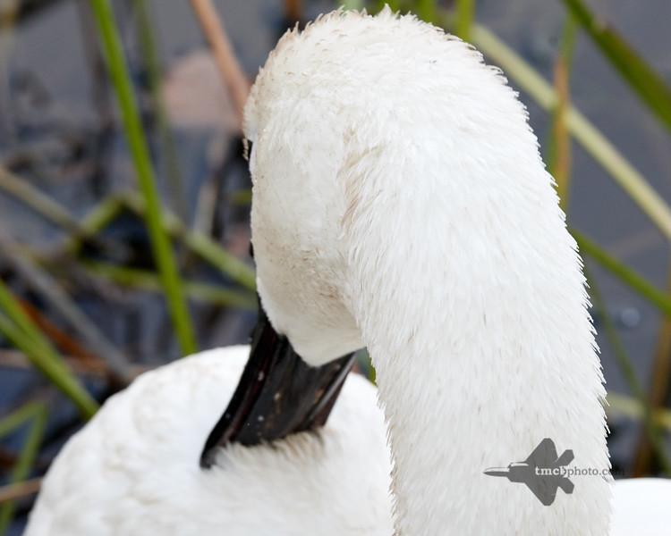Trumpeter Swan_2019-11-03_1