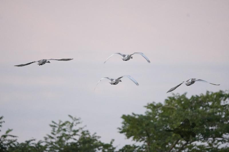 Trumpeter Swan_2019-09-08_1