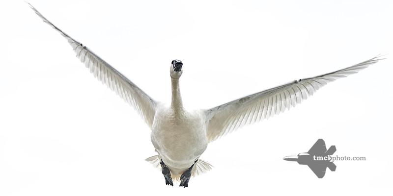 Trumpeter Swan_2019-05-18_3