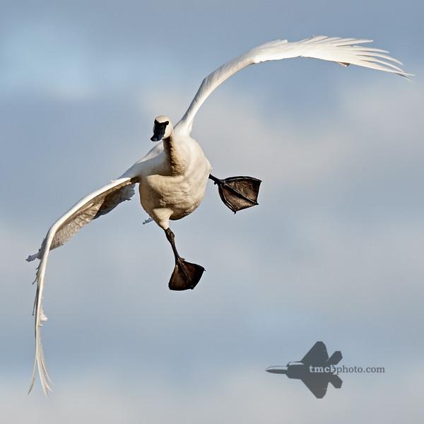 Trumpeter Swan_2019-11-03_2