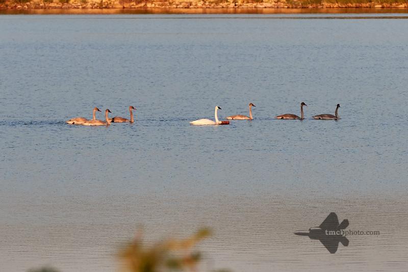Trumpeter Swan_2019-09-08_2