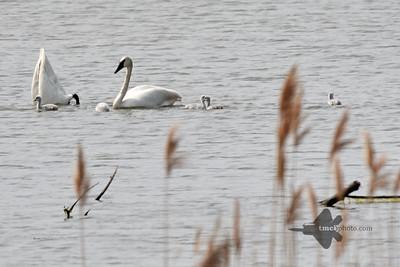 Trumpeter Swan_2019-06-01_2