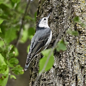 White-Breasted Nuthatch_2019-07-27