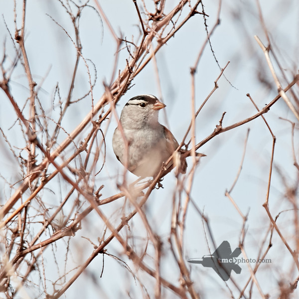White-Crowned Sparrow_2019-05-18_3